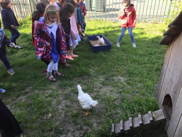nieuwe_kippen